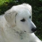 Hattyú-Bárány vom Drachenfels, 6 Monate alt