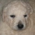 Hattyú-Bárány 40 Tage alt