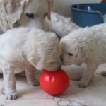 Herceg und Hattyu untersuchen den Futterball