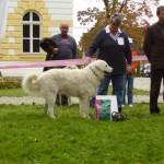Viharsarki Betyarüzö Effendi, als beste HKK-Kuvasz Rüden 2010