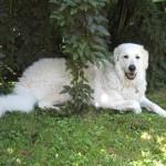 Hattyú-Bárány vom Drachenfels, zweieinhalb  Jahre alt